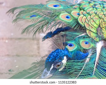 Head of a peacock with blurred background to green