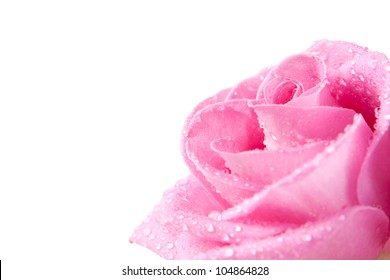 head of pink rose with dew drops, isolated on white