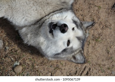 Head portrait of the Alaskan Malamute Sled Dog. She seems to smile