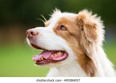 head portrait of an Australian Shepherd dog