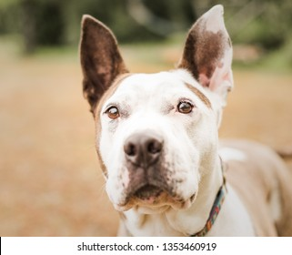 Head portrait of a curious calm friendly white and tan pit bull dog looking alertly at the camera with cocked ears outdoors in a field