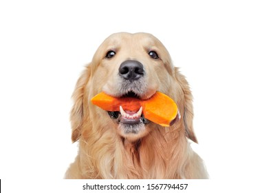 Head portrait of a goldenretriever eating pumpking slice
