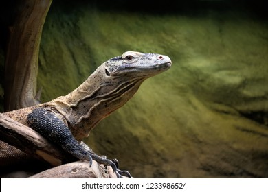 The head portrait of the gray giant lizard with gray and brown scales, wrinkly neck, large brown eyes, large ears like a hole, large closed mouth and red nostrils