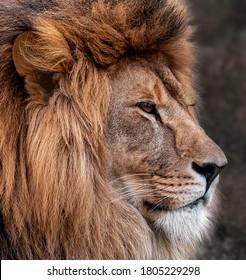 Head portrait of lion animal. Portrait of a lion. Big Male Lion.
