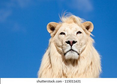 Head Portrait Of Majestic White Lion Against Blue Sky With Copy Space