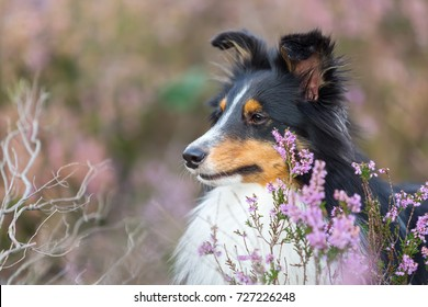 head portrait of a Sheltie who sits between blooming heather