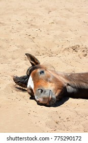 Head portrait of a sleepy foal with cute facial expression lying in the sand (space for text on top).