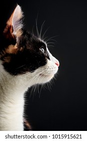 Head portrait of tricolor cat on black background. Copy space .Profile of cat