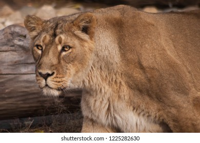 head and powerful torso of a lioness. The lioness is a strong and beautiful animal, demonstrates emotions.