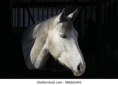 Head of a pretty white horse standing in stable on dark background
