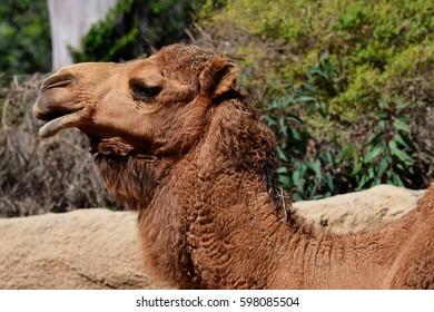head profile of camel