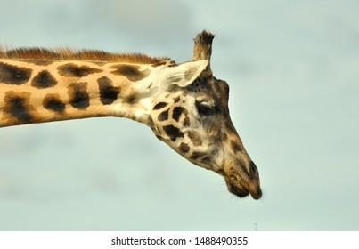 A head profile of a giraffe