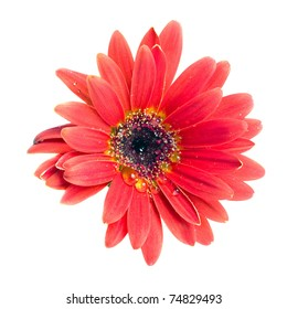 Head of red flower isolated on white