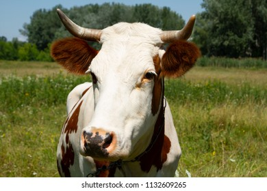 Head of a red horned cow close-up. Heifer on the meadow. Private cattle breeding in Ukraine. Household subsidiary farming. A cow is grazing in a clearing.