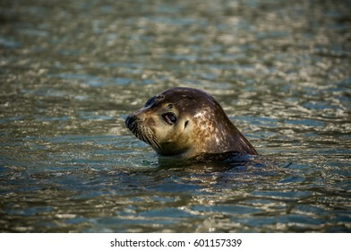 Head of the sad seal emerging from the water