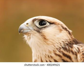 Head of saker falcon - falco cherrug