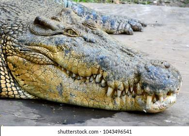 Head of saltwater crocodile (Crocodylus porosus).