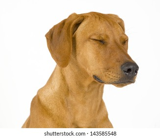Head shoot of a beautiful and sad dog isolated on white. The female Rhodesian ridgeback hound is 5 month old. The dog has its eyes closed.