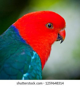 Head shot, Adult male Australian King Parrot. Green body Red head bird. Blue Mountains in New South Wales, Australia.