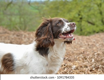 Head  shot of alert liver and white spaniel out in the countryside.