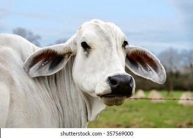Head shot of an American Brahman cow in Texas. The first cattle breed developed in America in early twentieth century
