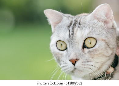 Head shot of American short hair cat, selective focus on its eye and iris.