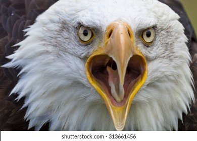 Head shot of Bald Eagle looking with open beak in the camera