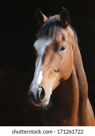 A head shot of a bay horse looking over a fence.