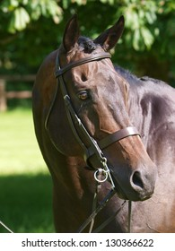 A head shot of a bay thoroughbred horse in a bridle.