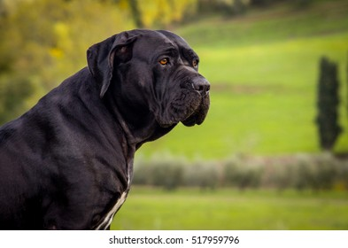 Head shot of beautiful black Italian Mastiff