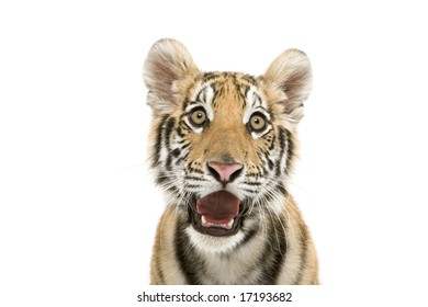 Head shot of a bengal tiger