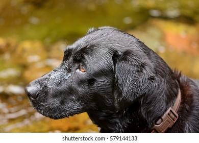 head shot of a black labrador looking sideways