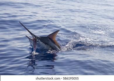 Head shot of black marlin on a lure