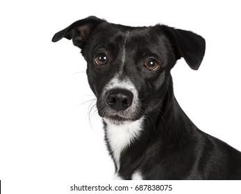 Head shot of black and white stray dog isolated on white background