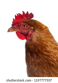 Head shot of brown Barnevelder chicken hen standing side ways looking straight ahead isolated on white background