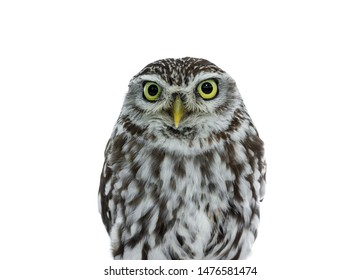 Head shot of brown white young Little Owl. Looking straight to camera with yellow eyes. Isolated on white background.