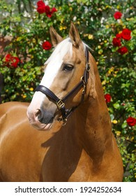 A head shot of a chestnut horse in a leather head collar.
