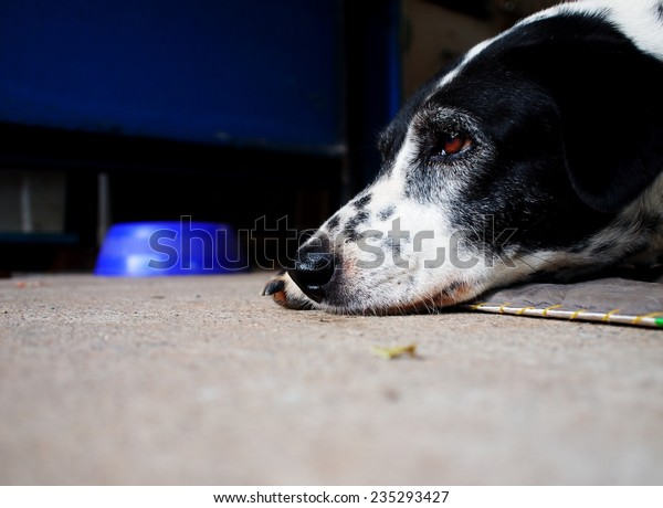 head shot close up of a black and white dalmatian dog no purebred laying on the gray color concrete garage floor outdoor under natural sunlight lin summer with a dog food bowl blur in the background