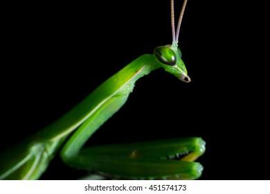 Head shot, Close Up, Macro of green praying mantis isolated on black