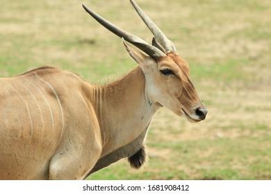 Head shot of a common Eland