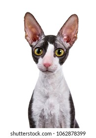 Head shot of Cornish Rex cat / kitten sitting isolated on white background