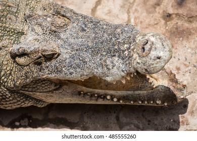 Head shot crocodile