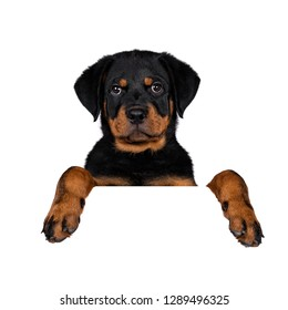 Head shot of cute purebred Rottweiler dog pup hanging with paws over white banner / edge / area. Cute face looking with sweet eyes to lens camera. Isolated on white background.