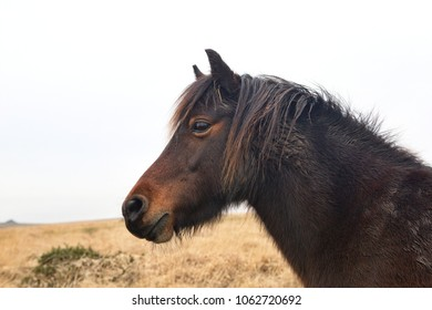 Head shot of Dartmoor pony