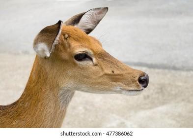 head shot of a deer.