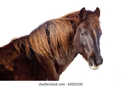 Head  Shot of a Domesticated Horse over White.