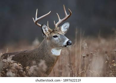 Head shot of an eight point whitetail buck.
