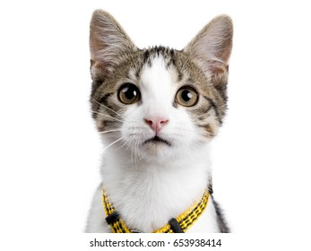 Head shot of European shorthair kitten / cat on white background wearing yellow harnas and looking in the camera