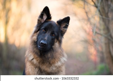 Head shot of german shepherd in spring morning sun