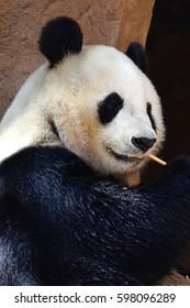head shot of Giant panda chewing on bamboo